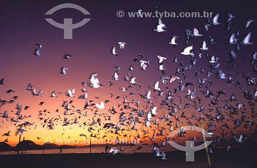 Revoada de pássaros - praia de Copacabana - Rio de Janeiro - RJ - Brasil. Data: 2004