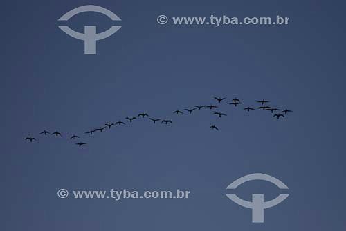 Grupo de aves voando - São Conrado - Rio de Janeiro - RJ - Brasil  - Rio de Janeiro - Rio de Janeiro - Brasil