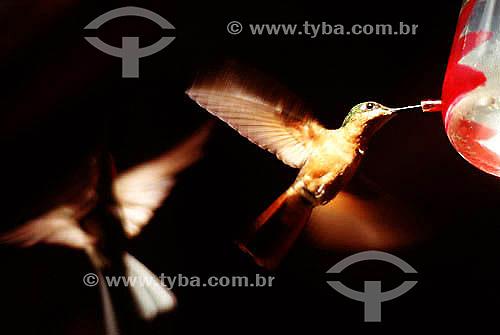 Beija-flor se alimentando - Brasil