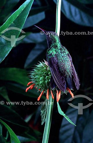 (Thalurania glaucopis) Beija-flor-de-fronte-violeta Mata Atlântica - Brasil