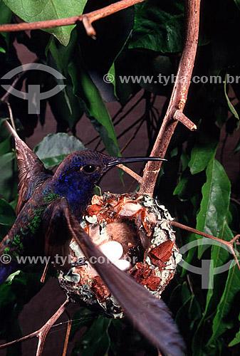 Assunto: (Eupetomena macroura) Beija-flor tesourão com ovos no ninho / Local: Mata Atlântica - RJ - Brasil / Data: 1995