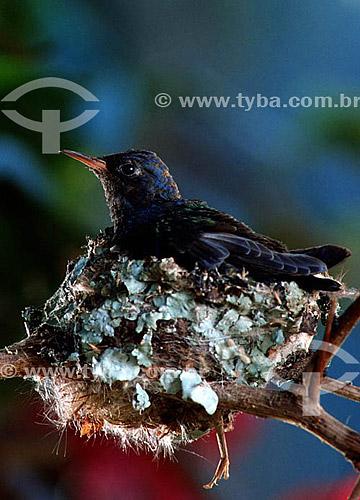 (Eupetomena macroura) Filhote de Beija-flor tesourão no ninho - Mata Atlântica - RJ - Brasil  - Rio de Janeiro - Brasil