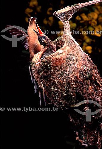 (Phaetornis pretei) Beija-flor-de-rabo-branco ou Rabo-branco-limpa-casa  alimentando filhote no ninho - Brasil