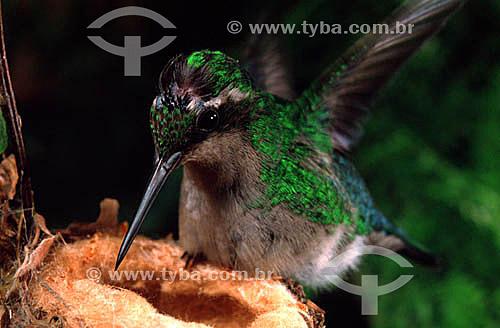 (Eupetomena macroura) Beija-flor  tesourão no ninho - Mata Atlântica - RJ - Brasil  - Rio de Janeiro - Brasil