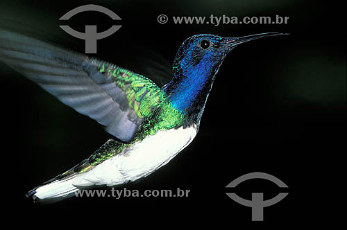 Aves - Beija-flor-azul-de-rabo-branco (Florisuga mellivora) durante vôo na Reserva de Desenvolvimento Sustentável Amanã - Amazonas - Brasil  - Amazonas - Brasil
