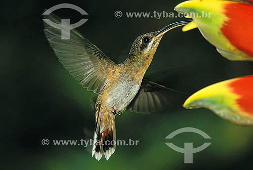 Aves - Beija-flor-balança-rabo-de-bico-torto (Glaucis hirsuta) sugando nectar de flôr - Mata Atlântica - Brasil