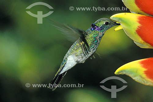 Aves - Beija-flor-de-orelha-violeta (Colibri serrirostris) sugando nectar de flôr - Mata Atlântica - Brasil
