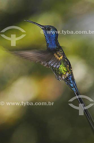 (Eupetomena macroura) Beija-flor tesourão - Mata Atlântica - RJ - Brasil   - Rio de Janeiro - Brasil