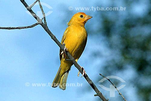 (Sicalis flaveola) Canário-da-terra-verdadeiro - pássaro do norte do Brasil