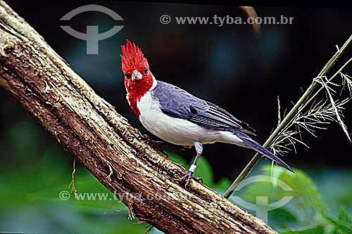 (Paroaria coronota) - Cardeal-do-Sul - pássaro - Brasil