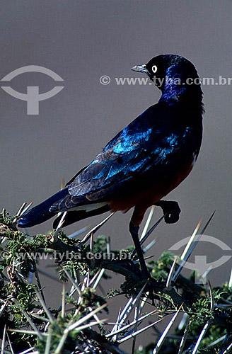 (Lamprotornis purpuropterus, fam. Sturnidae Starlings) Merlo Metálico - Brasil