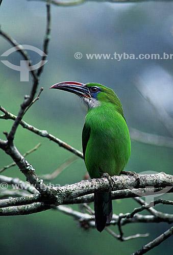 (Aulacorhynchus sulcatus) Araçari-de-bico-sulcado - Parque Nacional Henri Pittier - Aragua - Venezuela