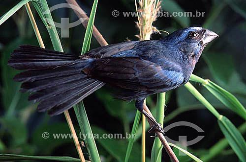 (Passerina brissonii)  Pássaro Azulão - Brasil