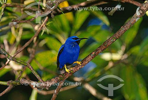 Saí-de-perna-amarela (Cyanerpes caeruleus) - Centro Natural Asa Wright - Trinidad & Tobago