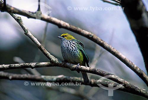 Negaça (Tangara punctata) - Parque Nacional Henri Pittier - Estado de Aragua - Venezuela