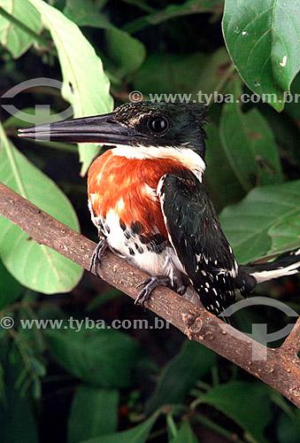 (Chloroceryle americana) - Martim-Pescador-Pequeno - PARNA Pantanal Matogrossense - MT - Brasil  A área é Patrimônio Mundial pela UNESCO desde 2000.  - Mato Grosso - Brasil