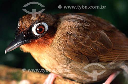 (Gymnopithys rufigula) Mãe-de-taoca-garganta-vermelha - Brasil