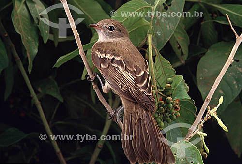 (Myarchus ferox) Pássaro fam. tyrannídeos- Guaravaca, irrê ou Maria-cavaleira - Brasil