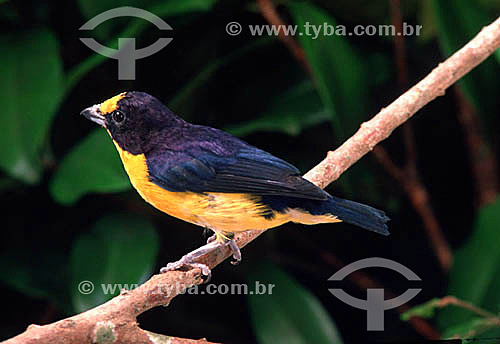 (Euphonia violacea) Gaturano - Brasil
