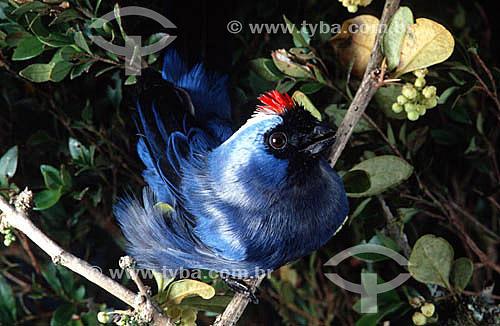 (Stephanophorus diadematus) Sanhaço-frade - Brasil