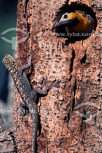 (Colaptes campestris) - Pássaro e lagarto - Pica-Pau-do-Campo - PARNA Pantanal Matogrossense - MT - Brasil  A área é Patrimônio Mundial pela UNESCO desde 2000.  - Mato Grosso - Brasil