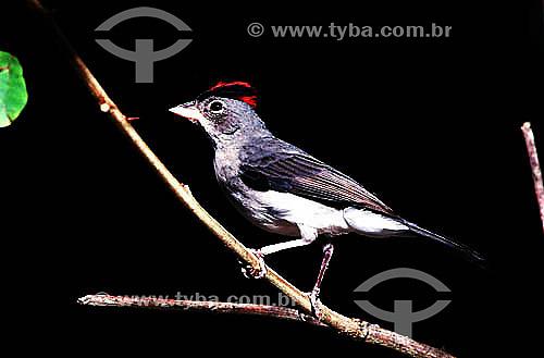 (Coryphospingus pileatus) - Galinho-da-Serra - Caatinga - CE - Brasil  - Ceará - Brasil