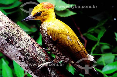 (Piculus flavigula)  Pica-pau-bufador - Amazônia - Brasil  - Amazonas - Brasil