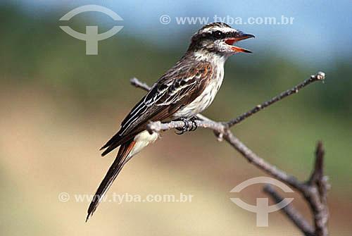 (Empidonomus varius) Peitica - Brasil e América do Sul em geral
