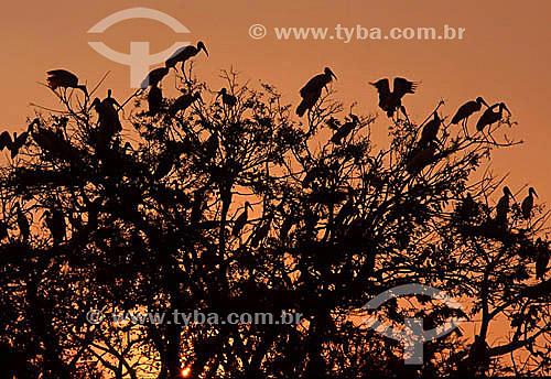 (Mycteria americana) - pássaros Cabeça-Seca, Jabiru ou Passarão - PARNA Pantanal Matogrossense - MT - Brasil  A área é Patrimônio Mundial pela UNESCO desde 2000.  - Mato Grosso - Brasil