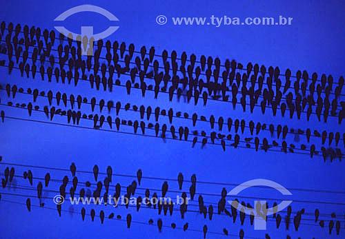Conjunto de pássaros sobre fio elétrico formando desenho gráfico - Brasil