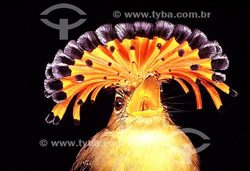 (Onychorynchus coronatus) Maria-lecre ou Maria-leque - Brasil