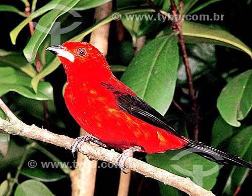 (Ramphocelus brasilius) Tiê-sangue ou Tié-sangue - Mata Atlântica - Brasil