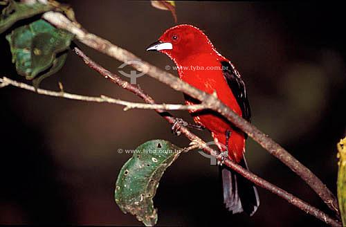 (Ramphocelus brasilius) - Tiê-sangue ou Tié-sangue - Mata Atlântica - Brasil