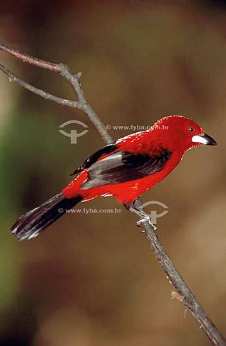 (Ramphocelus bresilius) Tiê-sangue ou Tié-sangue - Mata Atlântica - Brasil