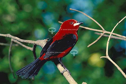 (Ramphocelus bresilius bresilius) Tiê-sangue - Brasil