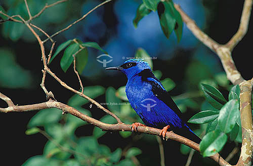 (Cyanerpes cyaneus) Saí-azul-de-pernas-vermelhas ou Saíra Beija-flor