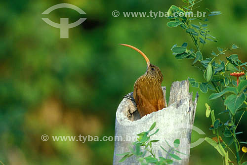 (Campylorhamphus trochilirostris) Arapaçu-de-bico-torto - MT - Brasil  - Mato Grosso - Brasil