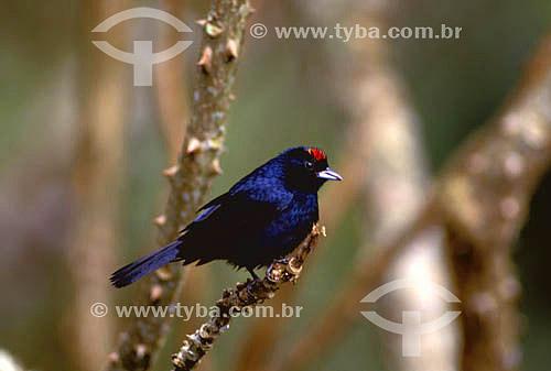 (Tachyphonus coronatus) Tiê-preto - Mata Atlântica do Sudeste do Brasil