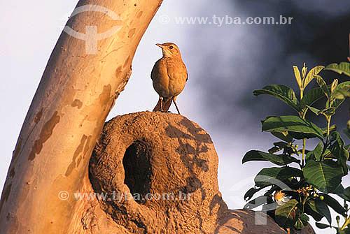 João-de-barro (Furnarius rufus) em cima do ninho - Pantanal Matogrossense - Mato Grosso do Sul - Brasil  - Mato Grosso do Sul - Brasil