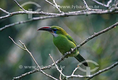 Araçari de Bico Sulcado (Aulacorhynchus sulcatus) - Parque Nacional Henri Pittier - Estado de Aragua - Venezuela