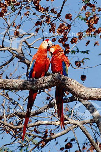 (Ara macao) Dupla ou Casal de Pássaros se acariciando - Araracanga, Arara-canga,  Arara-pitanga ou Arara-vermelha-pequena - Amazônia - Brasil