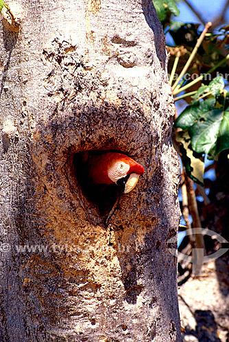 (Ara macao) Araracanga, Arara-canga,  Arara-pitanga ou Arara-vermelha-pequena - Amazonia - Brasil