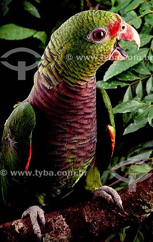 (Amazona vinacea) Papagaio-de-peito-roxo - Distribuição no Sudeste do Brasil e no sul do Rio Grande do Sul  - Rio Grande - Rio Grande do Sul - Brasil