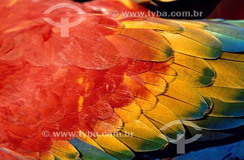 (Ara macao) - Detalhe de plumagem de pássaro - Araracanga, Arara-canga,  Arara-pitanga, Arara-vermelha-pequena - Amazônia - Brasil