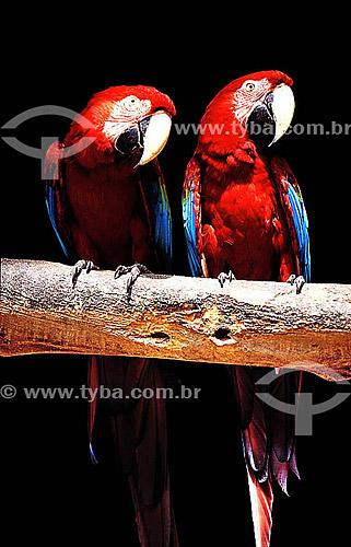(Ara macao) Araracanga, Arara-canga,  Arara-pitanga ou Arara-Vermelha-Pequena - dupla ou casal de pássaros originários da região da Amazônia -  Zoológico do Rio de Janeiro - RJ - Brasil  - Rio de Janeiro - Rio de Janeiro - Brasil