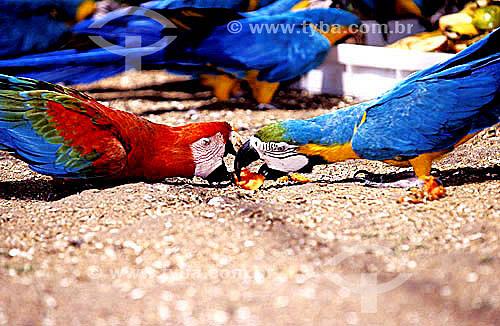 (Ara macao e Ara ararauna) - Dupla de Pássaros  disputando comida - da esquerda para a direita: Araracanga ou Arara-canga ou  Arara-pitanga ou Arara-vermelha-pequena e (com as cores da bandeira do Brasil) Arara-canindé ou Arara-de-barriga-amarela  -  Zoológico do Rio de Janeiro - Brasil / Bird - Parrot - Scarlet Macaws and Blue-And-Yellow Macaw -  Rio´s zoo - Brazil -2001  - Rio de Janeiro - Rio de Janeiro - Brasil