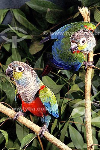 (Pyrrhura perlata rhodogaster or Pyrrhura perlata perlata) (Sclater) Tiriba-de-barriga-vermelha - dupla ou casal de pássaros - Amazônia - Brasil