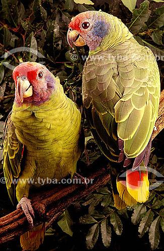 (Amazona brasiliensis) Papagaio-de-cara-roxa ou Chauá - sul do Brasil   O trecho da Mata Atlântica que inicia-se na Serra da Juréia, em Iguape/SP e vai até à Ilha do Mel, em Paranaguá/PR é Patrimônio Mundial Natural da UNESCO desde 1999.  - Paraná - Brasil