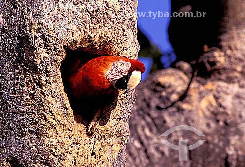 (Ara macao) Araracanga (ou Arara-Canga) Arara-pitanga ou Arara-vermelha-pequena - Amazônia - Brasil