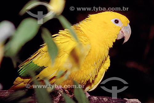 (Guaruba guarouba) - Ararajuba ou Guaruba - pássaro com cores da bandeira do Brasil - Brasil